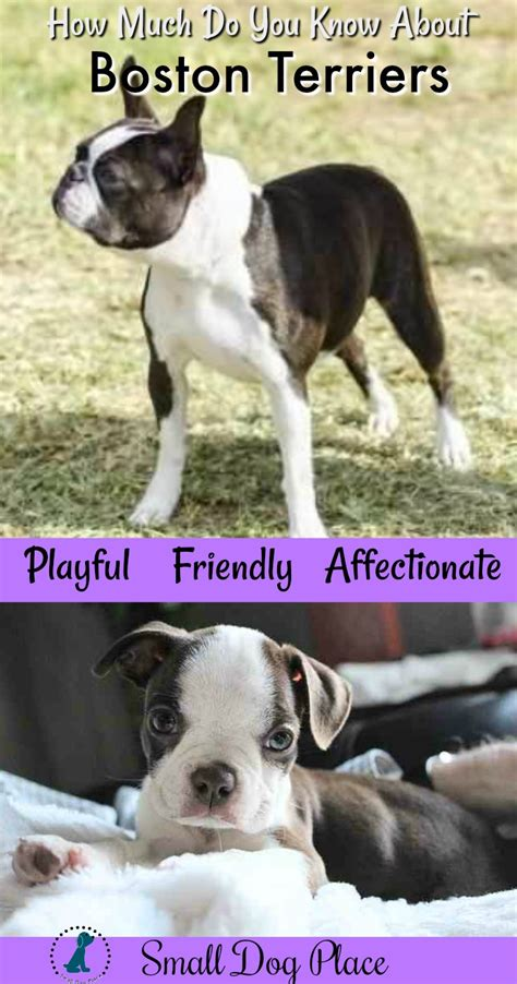 Boston Terrier   Small Breed Dogs Complete Breed Profile