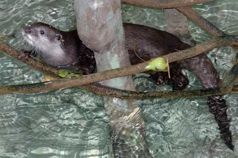 Chicago Zoological Society - Asian Small-Clawed Otter
