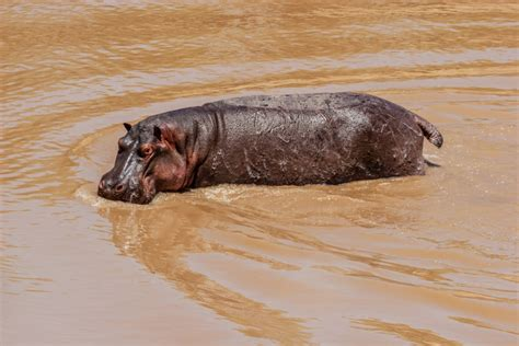 Hippo excrement is vital for life in rivers - Geographical