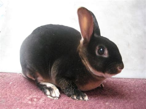 Black Otter Mini Rex   Leicester, Leicestershire   Pets4Homes
