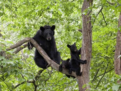 4 Tips for Seeing Smoky Mountain Black Bears in the Wild