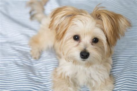 7 Cutest & Most Popular Teacup Dogs Perfect For Snuggles