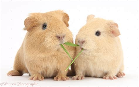 Guinea Pig Pictures - Kids Search
