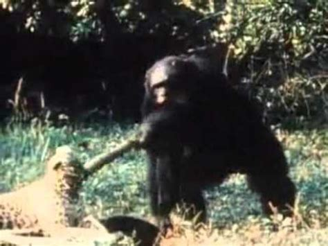 Wild Chimp attack Experiment - YouTube