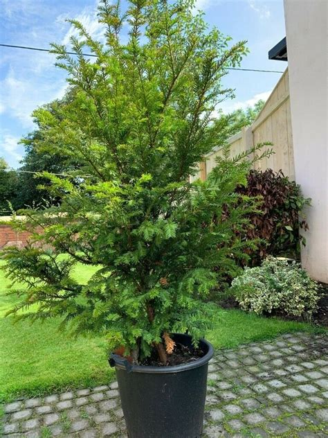 Yew Tree - 3 Available
