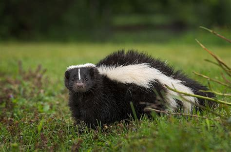 Skunk history and some interesting facts
