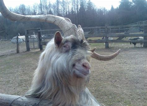 Ridiculously photogenic goat is the best thing you'll see