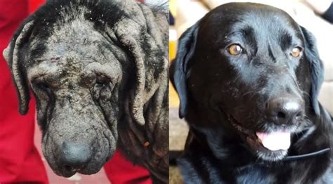 Bait Dog Used For Breeding And Then Dumped Is Transformed